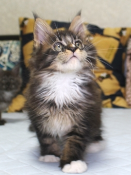 Ange_kitten1_19050805