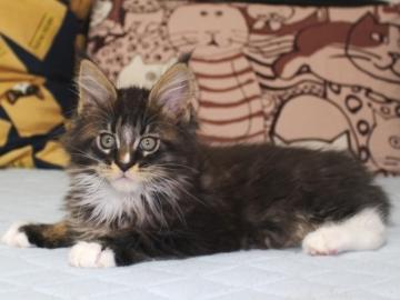 Ange_kitten1_19050806