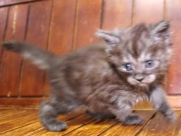 Ange_kitten3_19041202