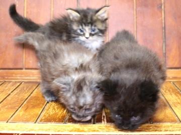 Ange_kittens_19041202