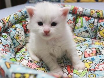 Blanche_neige_kitten3_19050201