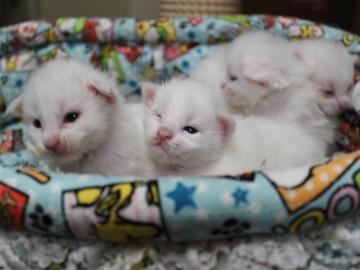 Blanche_neige_kittens_19042202