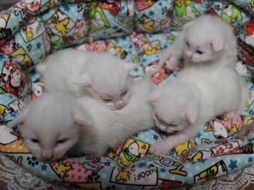 Blanche_neige_kittens_19042203