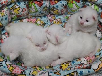 Blanche_neige_kittens_19042204