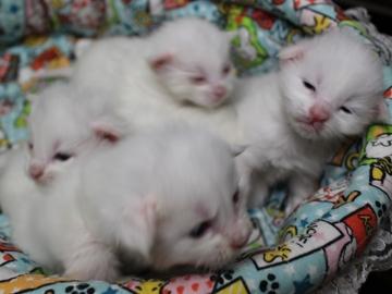 Blanche_neige_kittens_19042205