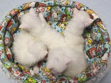 Blanche_neige_kittens_19050201
