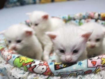 Blanche_neige_kittens_19050202