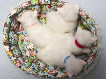 Blanche_neige_kittens_19050203
