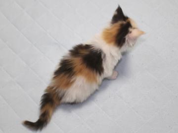 Chardonnay_kitten1_19051601