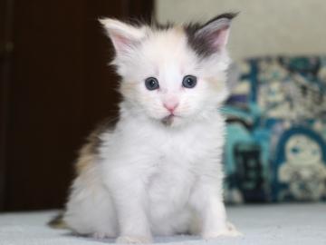 Chardonnay_kitten1_19051602