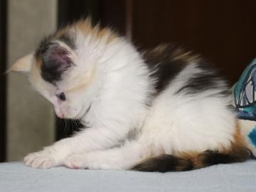 Chardonnay_kitten1_19051604