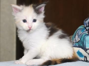 Chardonnay_kitten1_19051605