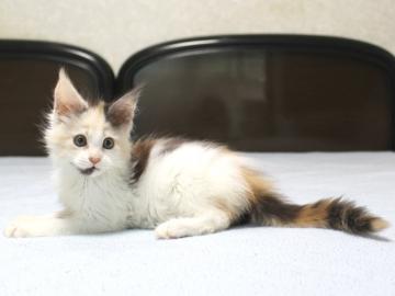 Chardonnay_kitten1_19062103