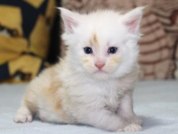 Chardonnay_kitten2_19051603