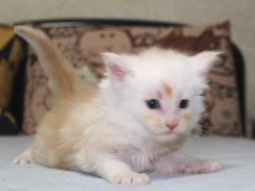 Chardonnay_kitten2_19051605