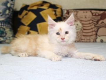 Chardonnay_kitten2_19060603