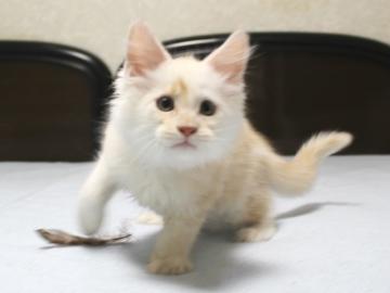 Chardonnay_kitten2_19061404