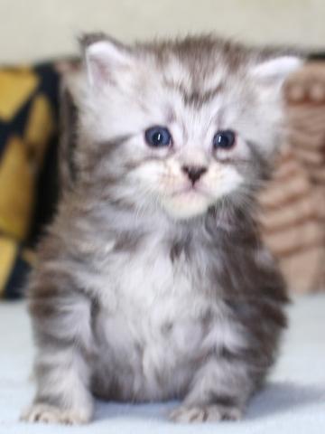 Chardonnay_kitten3_19051601