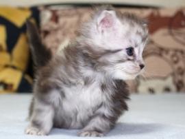 Chardonnay_kitten3_19051602