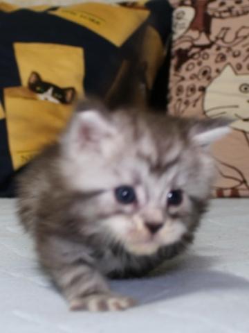 Chardonnay_kitten3_19051605