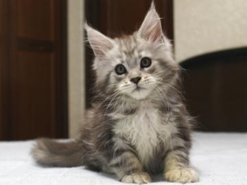 Chardonnay_kitten3_19062301