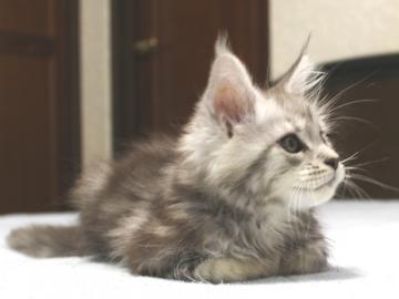 Chardonnay_kitten3_19062302