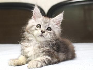 Chardonnay_kitten3_19062303