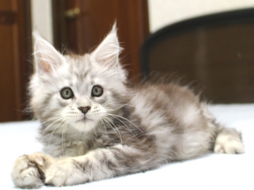 Chardonnay_kitten3_19062305