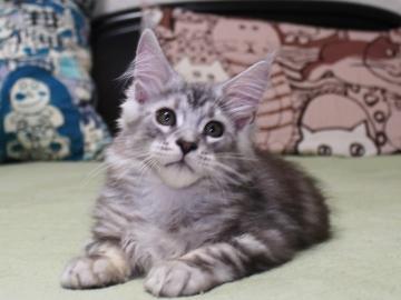 Chardonnay_kitten3_19071401