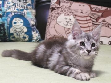 Chardonnay_kitten3_19071402