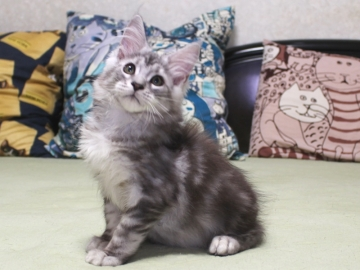 Chardonnay_kitten3_19071403