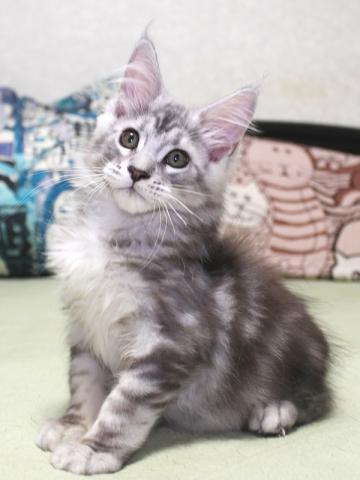 Chardonnay_kitten3_19071404