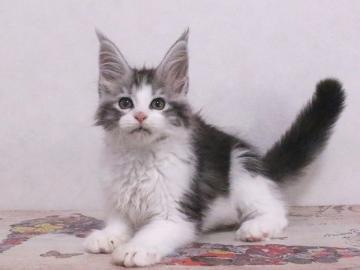 Waco_kitten1_19120201
