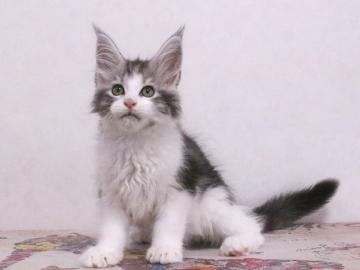 Waco_kitten1_19120202