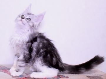 Waco_kitten3_19120502