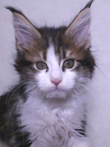 Waco_kitten4_19120601