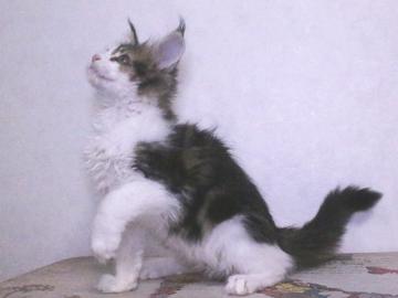 Waco_kitten4_19120602