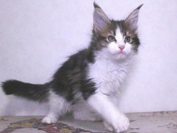 Waco_kitten4_19120603